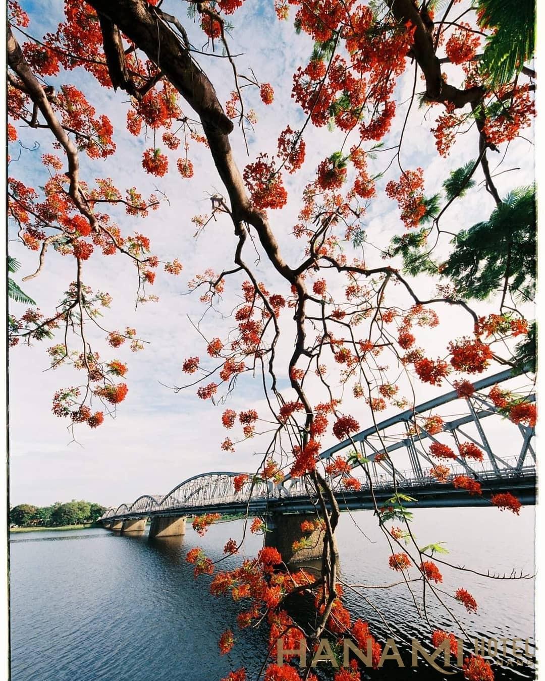 cầu Trường tiền Huế mùa hoa phượng nở