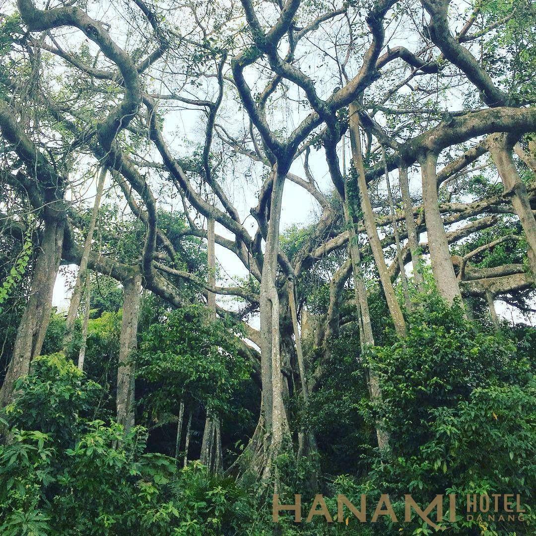 cây đa ngàn năm ở trên núi Sơn Trà Đà Nẵng
