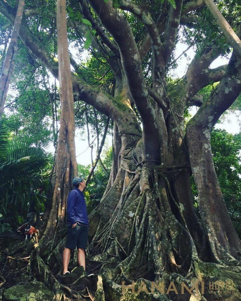 gốc cây đa ngàn năm